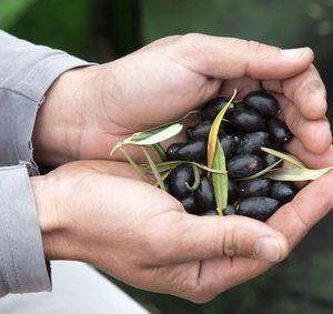 Manos de agricultor con aceitunas